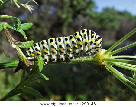 Caterpillar Of Butterfly Swallowtail (Papilio Machaon)