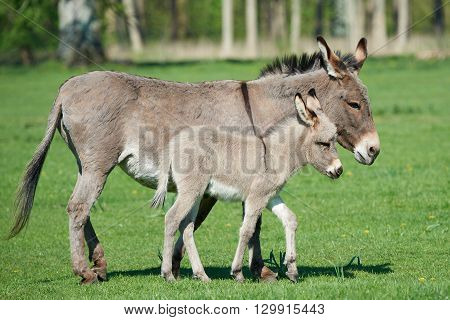 Donkey (Equus africanus asinus) mum and her little baby walking on grass