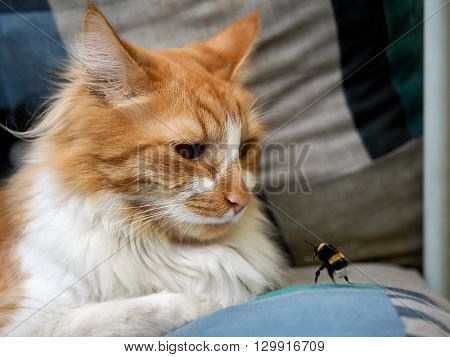 Luxury red cat watching an insect - a bumblebee. Bumblebee attack cat.