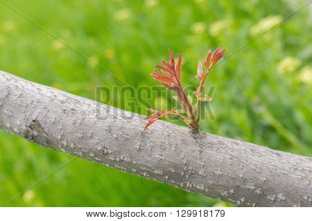 New sprout on Manchurian walnut tree at spring season