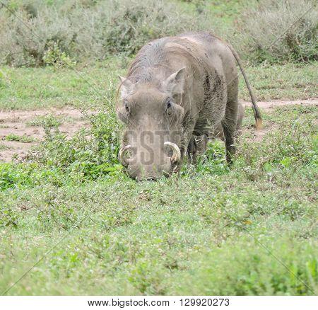 A warthog on the Serengeti facing the camera.