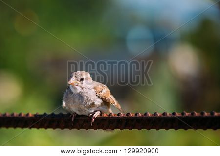 Young Bird Nestling House Sparrow Chick Baby Yellow-Beaked Passer Domesticus Sitting On Fence
