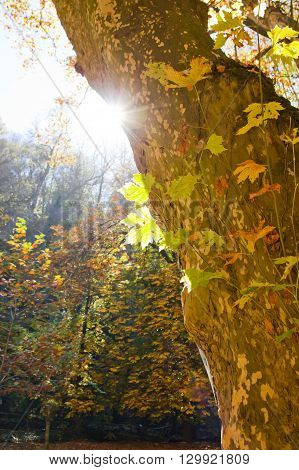 sun under a plane tree in a forest