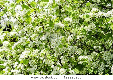 spring flowers of hawthorn in the sun