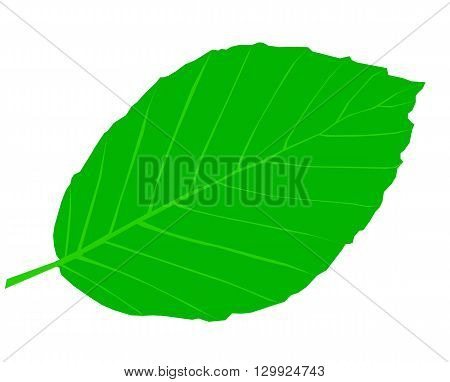 beech ,Fagus sylvatica , isolated beech leaf,