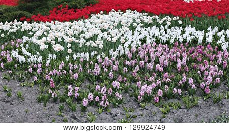 Pink and white hyacinth flowers white daffodils and red tulips in early spring