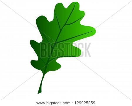 oak ,Quercus petraea , isolated oak leaf ,