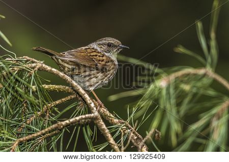 A dunnock is sitting on a branch