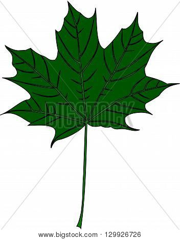 maple , Acer , isolated maple leaf ,