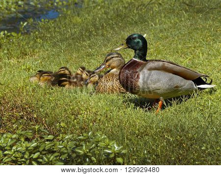 New baby ducklings with mother iand faher its a sign of spring. Mallard family rests next to a pond