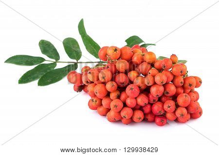 Heap of rowan berries with leaves on white