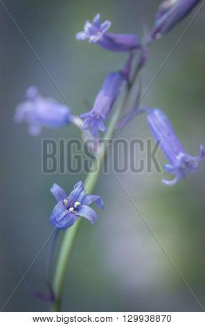 A beautiful spring Bluebell close-up macro shot