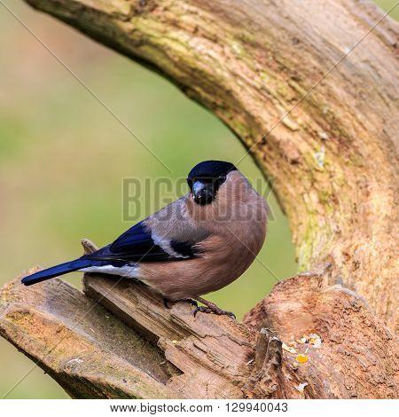 Bullfinch (Pyrrhula pyrrhula) perched on a branch