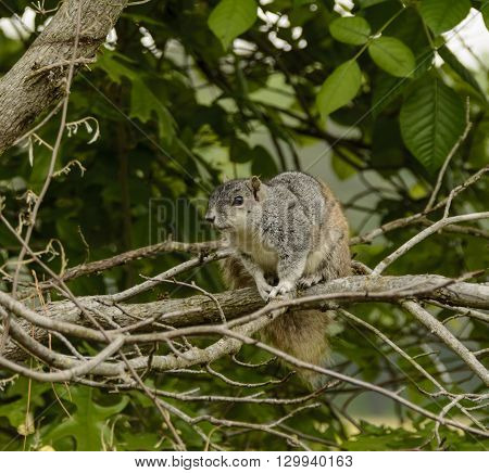 A Delmarva Fox Squirrel, Sciurus niger cinereus, a species that was once endangered, perched on a tree on the Eastern Shore of Maryland.