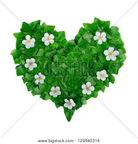 Natural green heart pattern made of ivy leaves and white flowers. Flat lay.