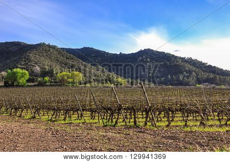 Beautiful Vineyard In Spring, Catalonia (spain).