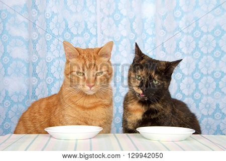 Young orange tabby cat sitting next to black and orange torbie tortie tabby cat at kitchen counter with white plates in front waiting for food expectantly looking down towards round plates.