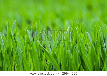 Background of the green young grass closeup