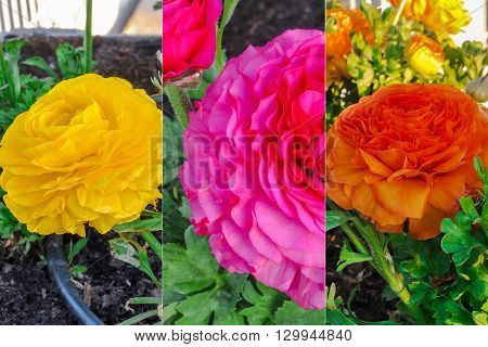 Varicolored  persian buttercup flowers (Ranunculus asiaticus) collection.