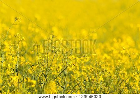 closeup of yellow rapeseed flowers in summer