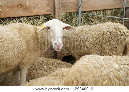 Close-up of a sheep.
