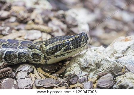 Head Of An African Rock Python