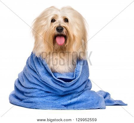 Beautiful happy reddish havanese dog after bath is sitting wrapped in a blue towel and looking at camera isolated on white background