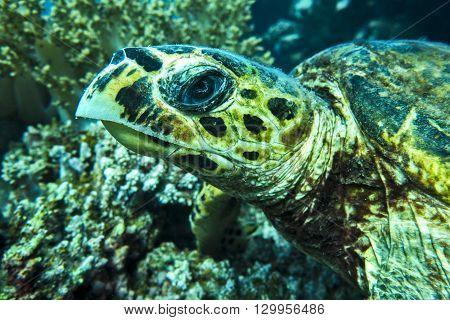 Loggerhead sea turtle Caretta caretta on the coral reef - Red Sea