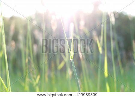Backlit grass heads in spring sunset uk