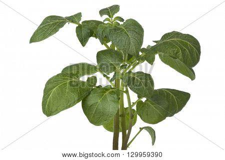 Fresh green potato plant on white background
