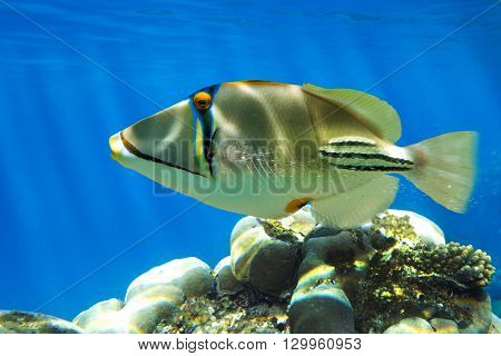 Picasso triggerfish (Rhinecanthus aculeatus) on the coral reef - Red Sea