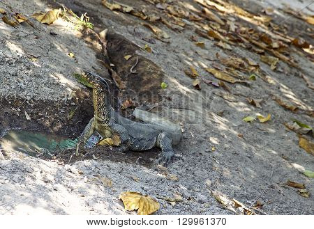 large lizard on the island of Koh Racha Thailand South East Asia