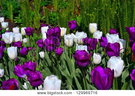 White and Purple Tulips with a green background