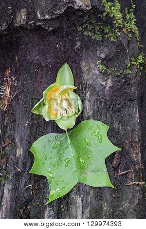 The flower of a tulip poplar tree (Liriodendron tulipifera) with attached leaf rests on a fallen tree in the woods of Indiana.