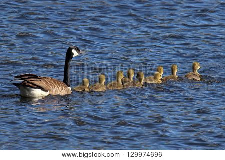 A mother Canada Goose (Branta canadensis) swimming on a pond with nine goslings.