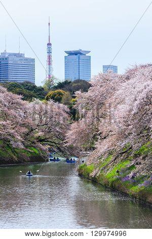 Chidorigafuchi park during the spring season this area is popular sakura spot at Tokyo Japan.