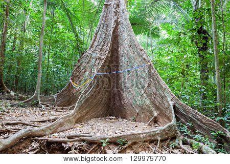 Tree in the tropical rainforest. Krabi, Thailand.