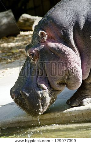 this is a close of a hippopotamus