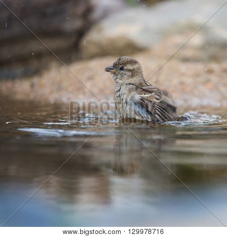Sparrow taking bath in nature water