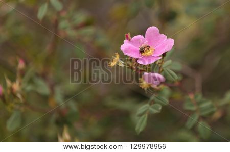 Honeybee, Hylaeus, gathers pollen on a wild rose flower in Southern California, United States.