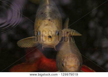 Koi fish, Cyprinus carpio haematopterus, eating in a koi pond in Japan