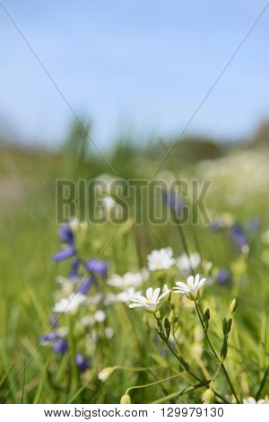 greater stitchwort and blue wild flowers in nature