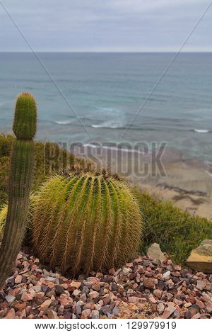 Mother in laws cactus, Mexican Golden Barrel Cactus, Echinocactus grusonii, flowering in spring in Mexico