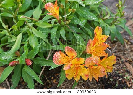 Closeup of Wet Alstroemeria flowers in orange yellow peachy color. Itâ??s also called Peruvian lily, or lily of the Incas.