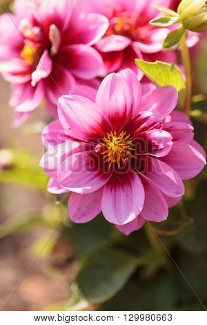 Pink Dahlia flower called Fascination is found in Mexico and is the national flower.