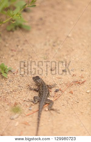Brown common fence lizard, Sceloporus occidentalis, perches on the edge of a burrow in the sand at a marsh in California.
