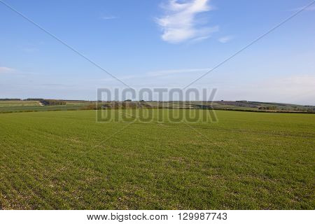 Young Wheat Crops In Springtime
