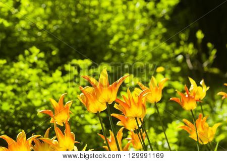 Blooming orange tulips backlighted afternoon with bokeh background selective focus shallow DOF