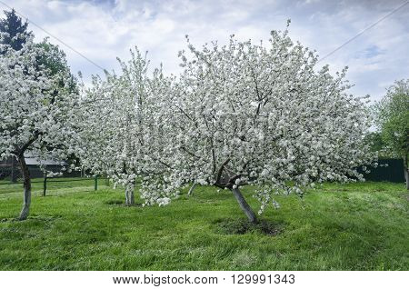 apple-tree flowers on a clear sunny day