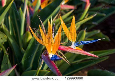Strelitzia flower aka bird of paradise, the symbol of Madeira island. Close view with blurry green grass background.